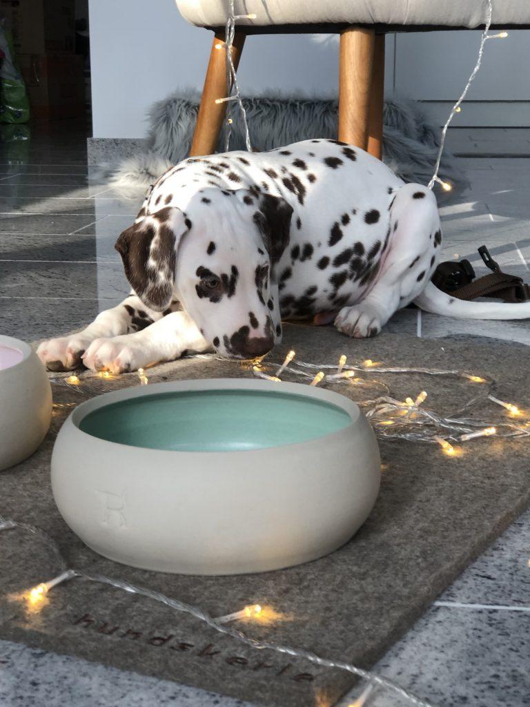 Leben mit Hund, Welpe, Dalmatiner, Dalmatian